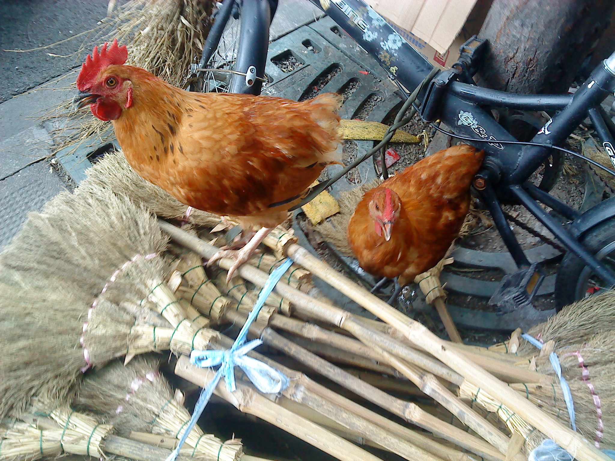 Chickens This means the Junior classes on Tuesdays are being moved back to their ...